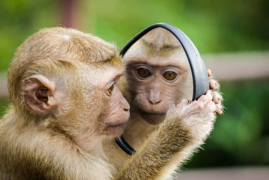 monkey looking in the mirror,